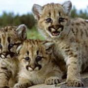 Cougar Cubs On A Rock Art Print