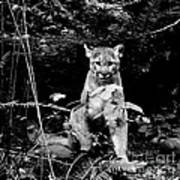 Cougar In The Northwest Trek Wildlife Park Art Print