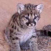 Cougar Kitten Art Print