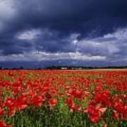 County Kildare, Ireland Poppy Field Art Print