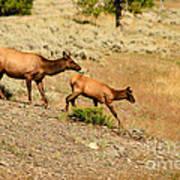 Cow And Calf Elk Art Print