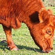 Cow Grazing In The Field . 7d9931 Art Print