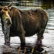 Cow Moose Art Print