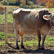 Cow Shadows Art Print