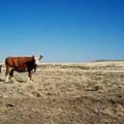 Cows At Sp Crater Art Print