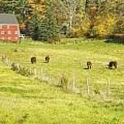 Cows Grazing On Grass In Farm Field Fall Maine Art Print