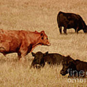 Cows Print by Methune Hively