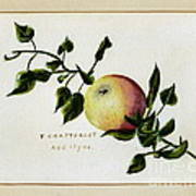 Coxs Apple 1922 Art Print