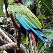 Coy Parrot Art Print