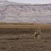 Coyote Badlands National Park Art Print
