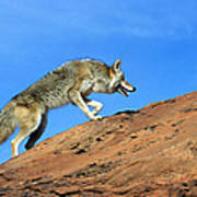 Coyote Climbs Mountain Art Print