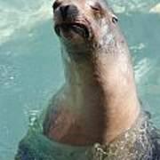 Cranky Seal  Art Print