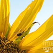 Crawling Along The Sunflower Art Print