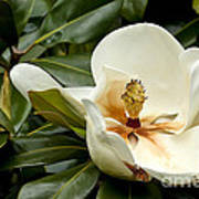 Creamy Magnolia Art Print