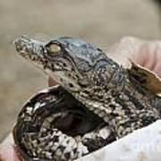 Crocodile And Alligator Breeding Farm  Art Print