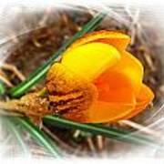 Crocus Gold Two Art Print