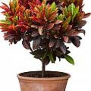 Croton Tree In Flowerpot Art Print
