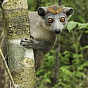 Crowned Lemur Eulemur Coronatus Female Art Print