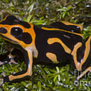 Crowned Poison Frog Art Print