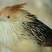 Cuckoo Bird Art Print