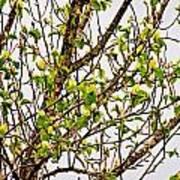 Cucumber Tree Blossoms Art Print