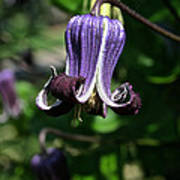 Curly Clematis Art Print