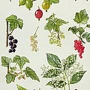 Currants And Berries Art Print by Elizabeth Rice