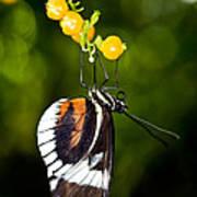 Cydno Longwing Butterfly Art Print
