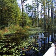 Cypress Swamps And Black Water Art Print