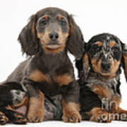 Dachshund And Merle Dachshund Pups Art Print