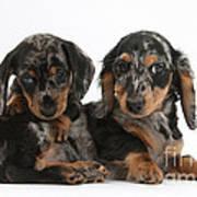 Dachshund Pups Art Print
