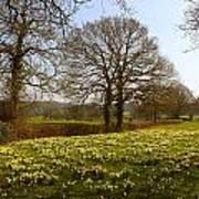 Daffodil Glade Art Print