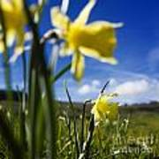 Daffodils In Cezallier. Auvergne. France. Europe Art Print