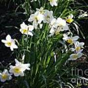 Daffodils Of Suzdal Art Print