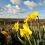 Daffs On Dartmoor Art Print