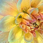 Dahlia After The Rain Art Print