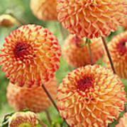Dahlia Dahlia Sp Mirella Variety Flowers Art Print