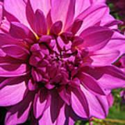 Dahlia Describes The Color Pink 1 Art Print
