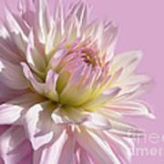 Dahlia Flower Pretty In Pink Art Print