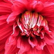 Dahlia In Red Art Print