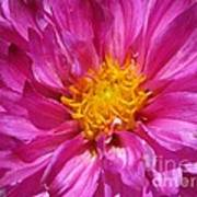 Dahlia Named Pink Bells Art Print