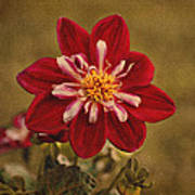 Dahlia Art Print by Sandy Keeton