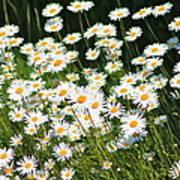 Daisy Day's Art Print by Karen Grist