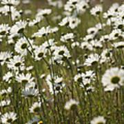 Daisy Fields Forever - Alabama Wildflowers Art Print
