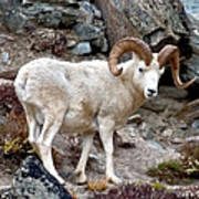 Dall's Sheep Art Print
