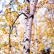 Dancing Birches Art Print