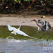 Dancing Egrets Art Print