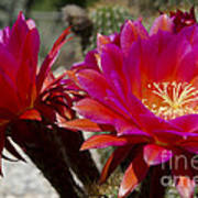 Dark Pink Cactus Flowers Art Print