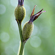 Dazzling Canna Seed Pods Print by Kathy Clark