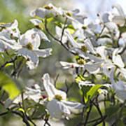 Dazzling Sunlit White Spring Dogwood Blossoms Art Print